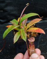 Nepenthes burkei x hamata, BE-3747