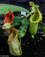 Nepenthes burkei x veitchii