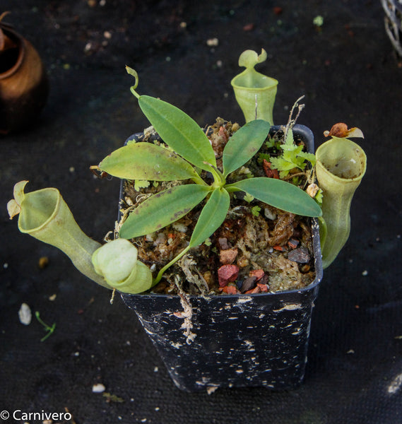 Nepenthes campanulata, BE-3044