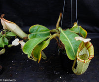 Nepenthes chaniana x veitchii, BE-3137