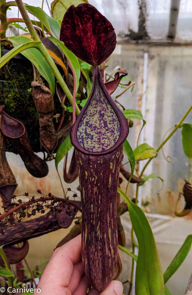 Nepenthes copellandii