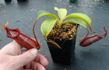 Nepenthes densiflora x robcantleyi, BE-3573