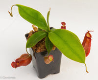Nepenthes 'Diana'