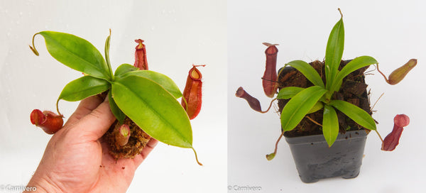 Nepenthes Starter Collection