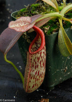 Nepenthes eymae BE