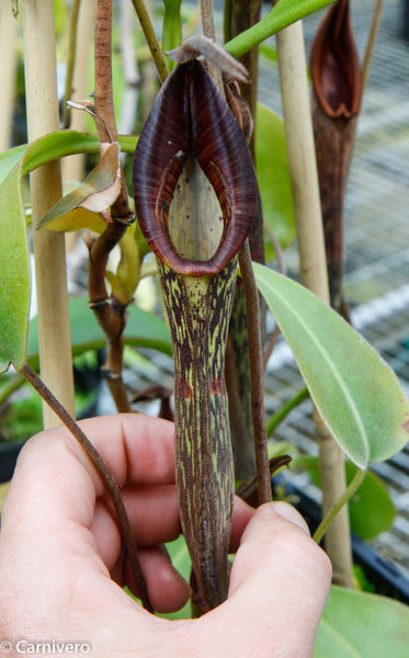 Nepenthes zakariana, BE-3068