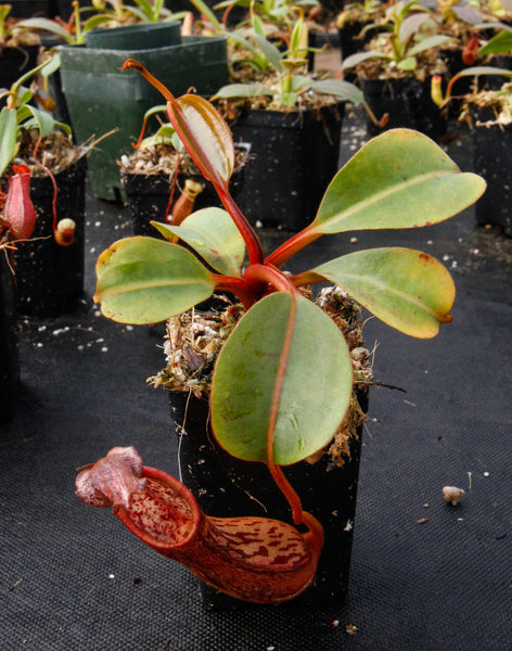 Nepenthes dactylifera BE-3070