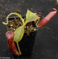Nepenthes glandulifera, BE-3691