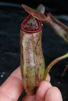Nepenthes glandulifera x robcantleyi, BE-3964