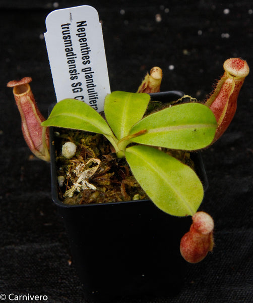 Nepenthes glandulifera x Trusmadiensis