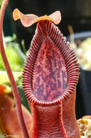 "Nepenthes singalana x hamata ""Hairy Red"""