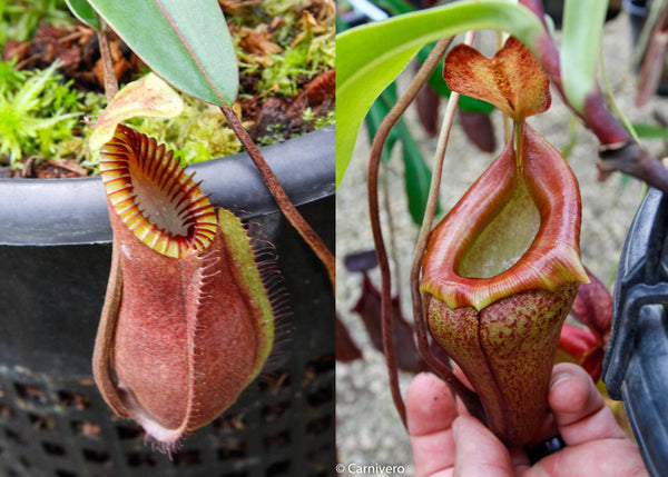 "Nepenthes hamata ""red hairy"" x flava"
