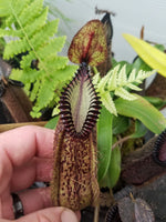 Nepenthes hamata, BE-3380