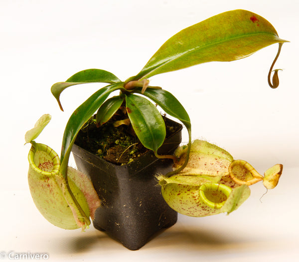 Nepenthes hookeriana BE-3737