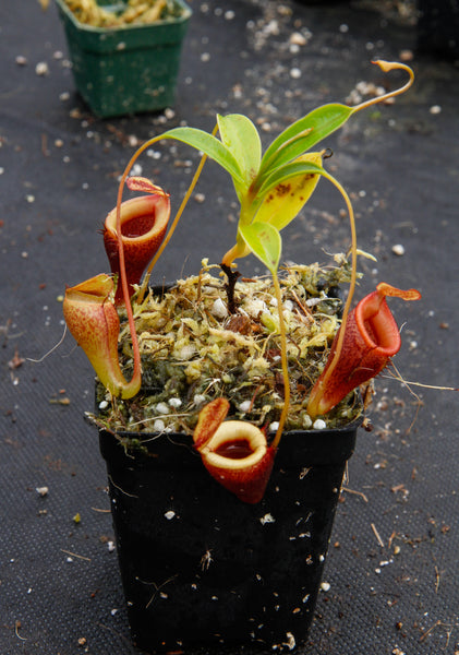 Nepenthes jamban, Borneo Exotics