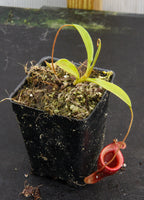 Nepenthes jamban, BE-3276
