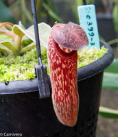 Nepenthes klossii, BE-4014