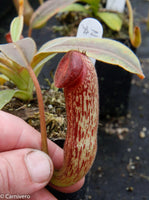 Nepenthes klossii, clone 230