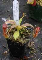 Nepenthes klossii, clone 254