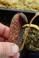 Nepenthes klossii, clone 257