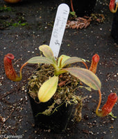 Nepenthes klossii, clone 268