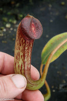 Nepenthes klossii, clone 271