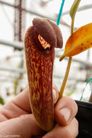 Nepenthes klossii, BE-3452