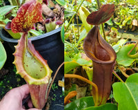 Nepenthes [(lowii x veitchii) x boschiana]-yellow x [(lowii x veitchii) x (bicalcarata x camp)], CAR-0078