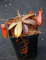 Nepenthes Lady Luck