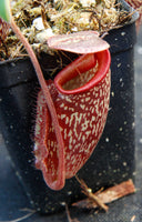 "Nepenthes maxima x talangensis ""Lady Pauline"", BE-3679"