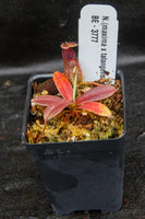 Nepenthes Lady Pauline x hamata, BE-3777