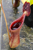 Nepenthes lowii, BE-3100