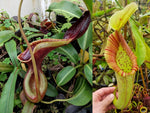 Nepenthes lowii x Mixta