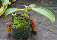 Nepenthes lowii x fusca
