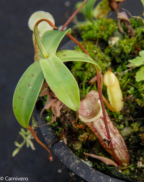 Nepenthes macfarlanei, CAR-0016