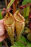 Nepenthes maxima, BE-3067