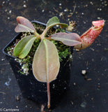Nepenthes maxima BE-3786