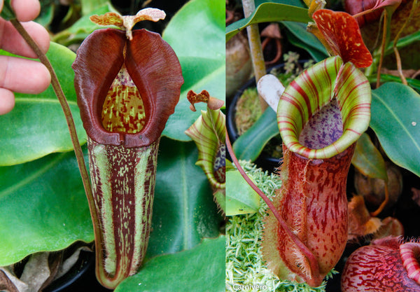 "Nepenthes maxima ""Pieriensis"" x {bellii x [veitchii x (maxima x veitchii)]} , CAR-0088"