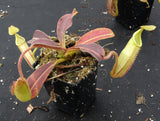 Nepenthes maxima, BE-3907