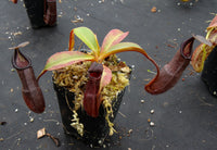 Nepenthes maxima x ramispina, BE-3740