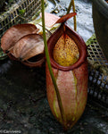 Nepenthes merrilliana