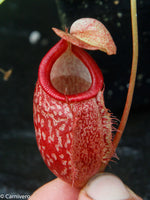 Nepenthes merrilliana x glabrata BE-3911
