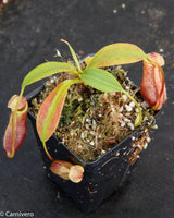 Nepenthes mira, BE-3868