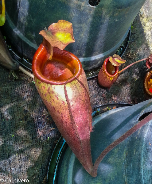 Nepenthes mira