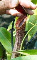 Nepenthes mirabilis var. echinostoma, BE-3372