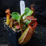 Nepenthes robcantleyi/nebularum
