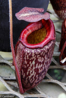 Nepenthes peltata (seed grown)