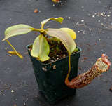 Nepenthes platychila x vogelii, BE-3638
