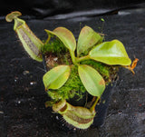 Nepenthes platychila x robcantleyi, BE-3496