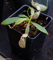 Nepenthes rafflesiana BE-3722